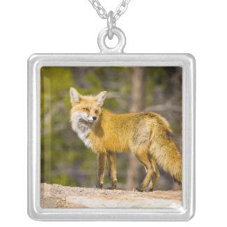 EUA, Colorado, Breckenridge. Retrato da raposa Colar Banhado A Prata