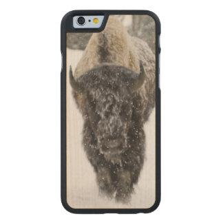 EUA, WY, Yellowstone NP, bisonte americano