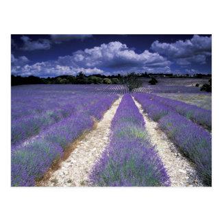 Europa, France, Provence. Campos de Lavander Cartão Postal
