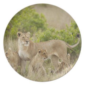 Fêmea adulta do leão africano com os filhotes, ale louças de jantar