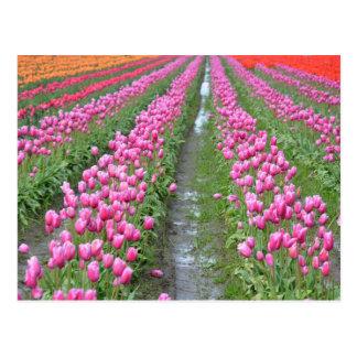 Fileiras coloridas do cartão das tulipas do