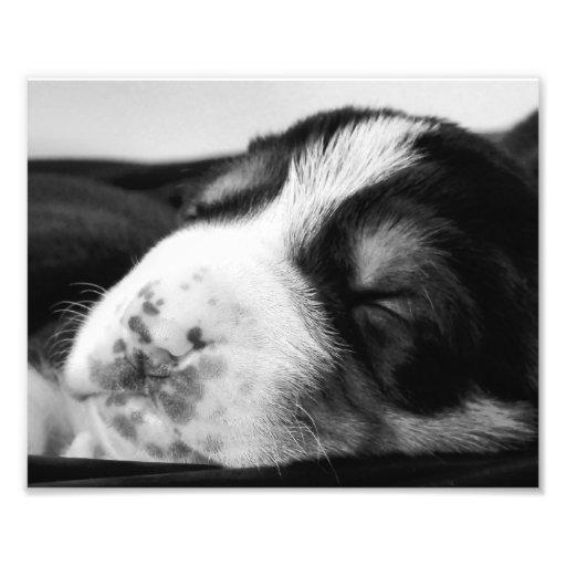 Filhote de cachorro Freckled do nariz Impressão De Foto