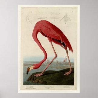 Flamingo americano posteres