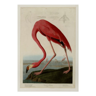 Flamingo americano poster