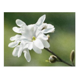 Flor branca da magnólia cartão postal