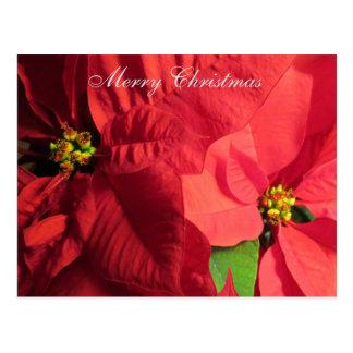 Flor da poinsétia do Feliz Natal Cartão Postal