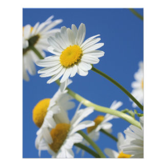 Flor de Dasy Panfletos Coloridos