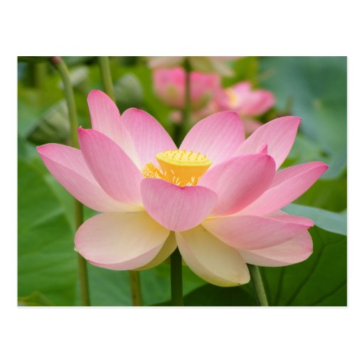 Flor de Lotus na flor (nucifera do Nelumbo) Cartões Postais