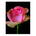 Flor do rosa do rosa cartoes postais