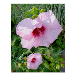Flor gigante comestível do hibiscus poster