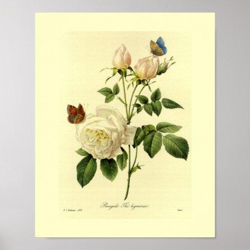 Floral botânico do rosa de Bengal Poster