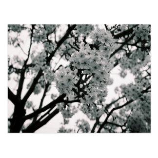 Flores pretas & brancas cartão postal