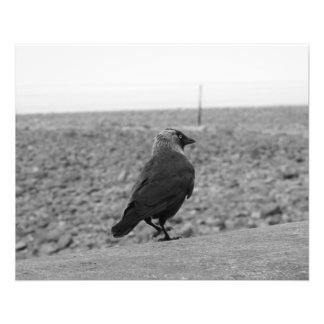 Flyer Imagem do pássaro. Jackdaw.
