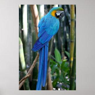 Foto azul do papagaio poster