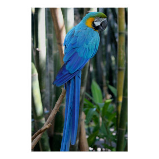 Foto azul do papagaio posteres