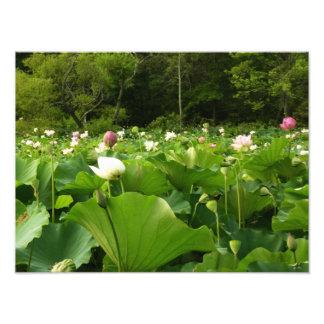 Foto Campo de flores de Lotus