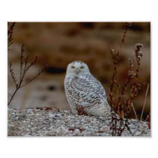Foto coruja 10x8 nevado que senta-se em uma rocha