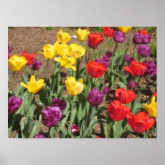 Foto da tulipa poster