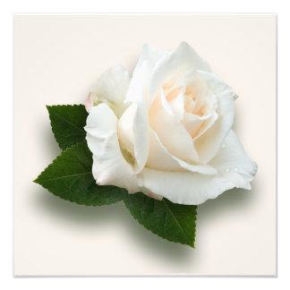 "Foto de ""Pascali"" do rosa branco"