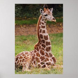 Foto do animal dos animais selvagens do girafa poster