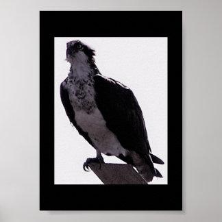 Foto do falcão pôster