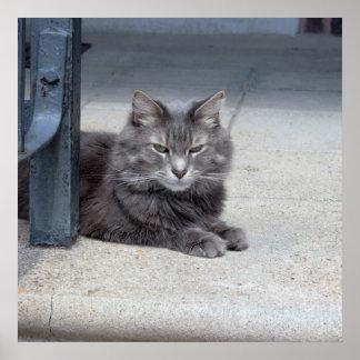 Foto do gato de racum de Maine Poster