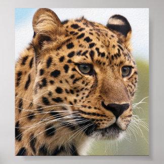 Foto do leopardo poster