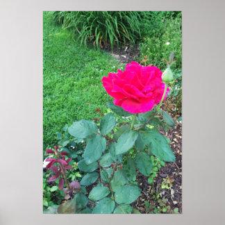 Foto do rosa do rosa poster