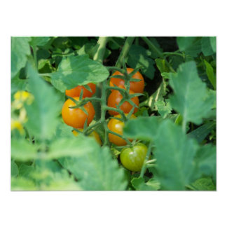 Foto do tomate poster