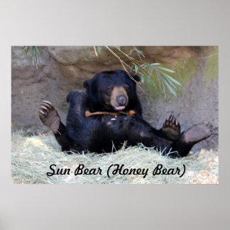 Foto do urso de mel (urso de Sun) Posters