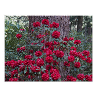Foto floral dos rododendros vermelhos escuro poster