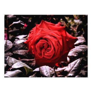 Foto rosa vermelha