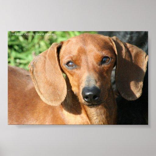 Foto vermelha de Smoothcoat do Dachshund Posteres