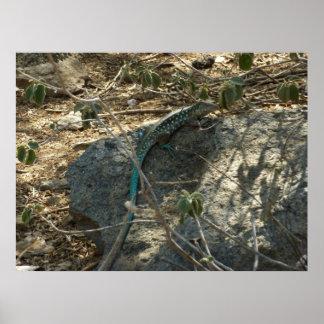 Fotografia animal tropical do lagarto de Aruban Poster
