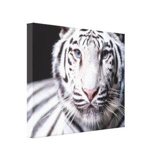 Fotografia branca do tigre de Bengal