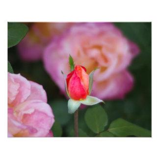 Fotografia da flor do botão do rosa do rosa