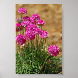 Fotografia da flor - rosa de mar - rosa e verde poster