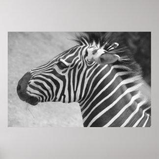 Fotografia da zebra pôsteres