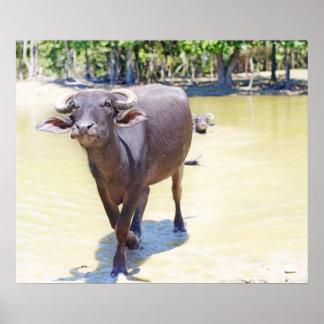 Fotografia do búfalo de água posteres