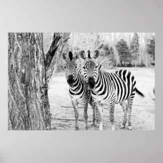 Fotografia do duo da zebra posteres