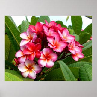 Frangipani havaiano pôsteres