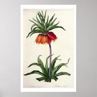 """Fritillaria Imperialis de, """"Les Lilacees"""", 1802- Pôsteres"""