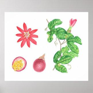 Fruta de paixão vermelha botânica pôster