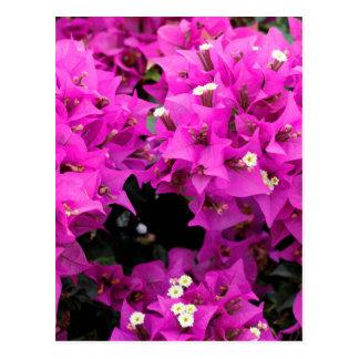 Fundo fúcsia roxo do Bougainvillea Cartão Postal