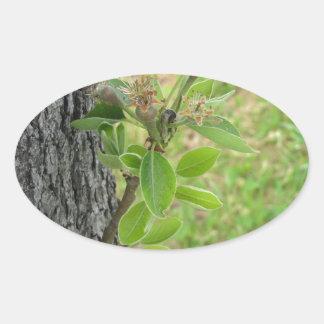 Galho da árvore de pera com os botões no primavera adesivo oval