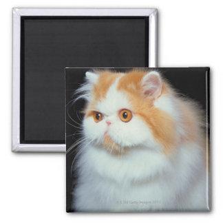 Gato Eyed e bonito da laranja Ímã Quadrado