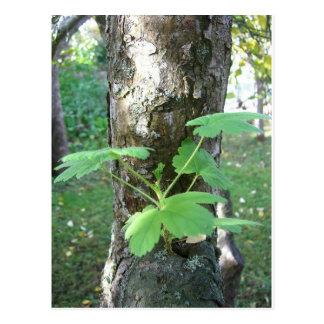 Gerânio que cresce em uma árvore cartão postal