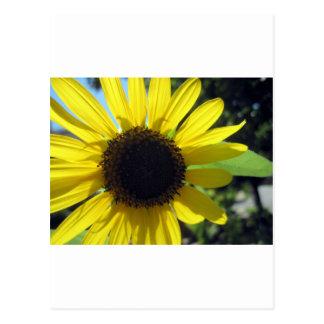 Girassol amarelo cartão postal