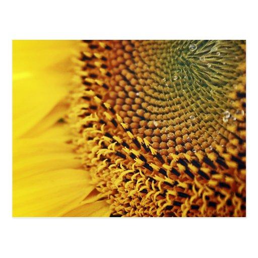 Girassol - cartão cartoes postais