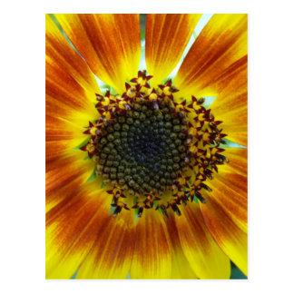 Girassol laranja-amarelo bonito cartao postal